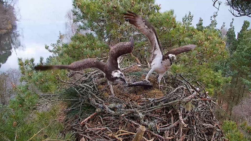 Wildlife: New female osprey.