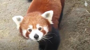 Red Panda hides from zoo keeper.