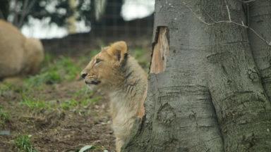 Edinburgh Zoo launches a new lion webcam.