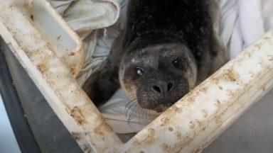 A two-day-old seal pup was rescued from a beach in Shetland.