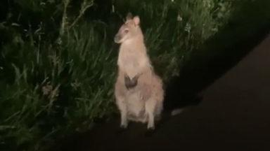 A young man finds a lost wallaby near Stirling.