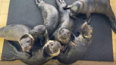 Six seal pups are being cared for by experts at the Hillswick Wildlife Sanctuary.