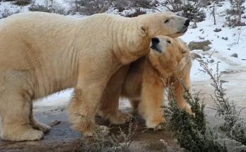 Polar bear romance at Highland Wildlife Park