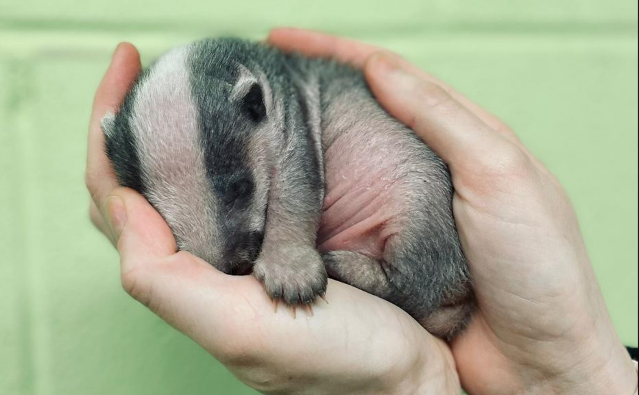 A two-week old badger cub has been rescued by the Scottish SPCA.