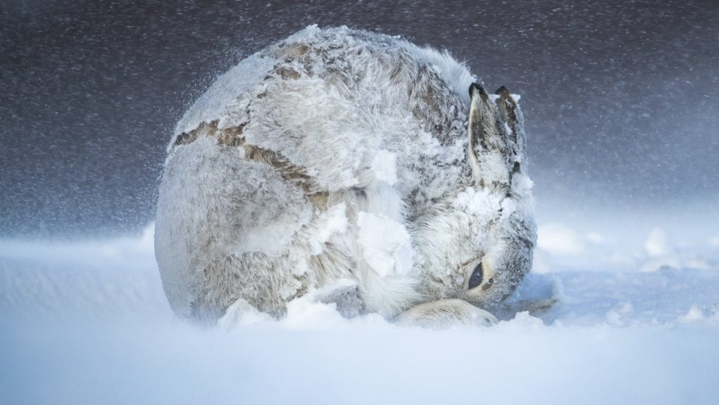 Cairngorms National Park: Andy Parkinson captured this wintry portrait of a mountain hare.