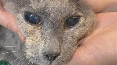 A female grey tortoiseshell cat was discovered in Fife in very poor condition.