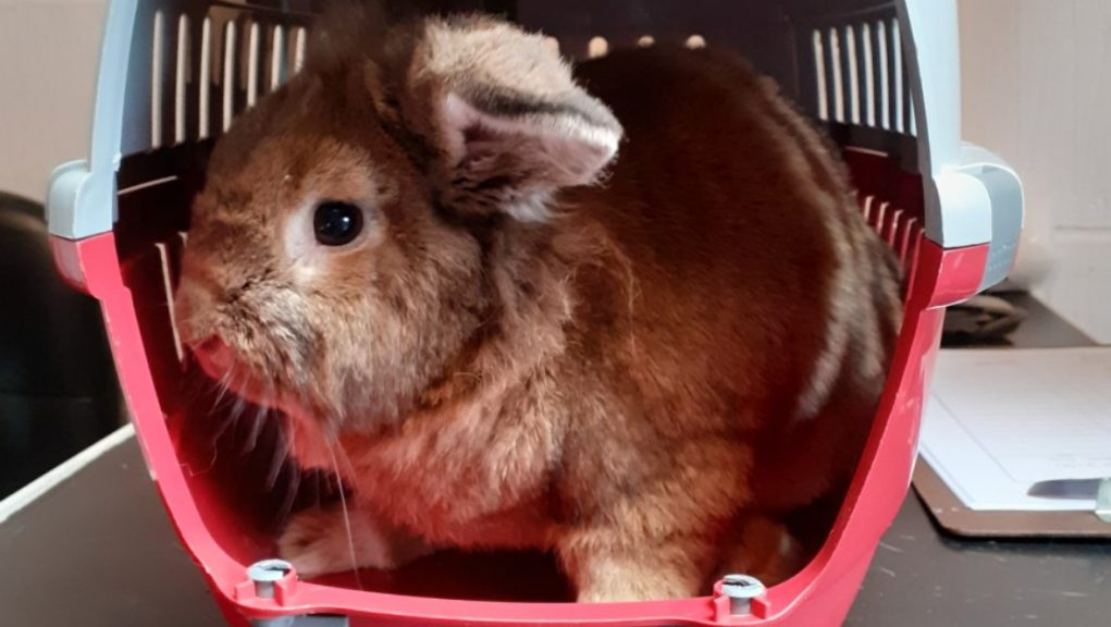 Abandoned: Lop-eared rabbit found on golf course.
