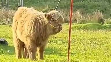 A little highland cow has been spotted playing swingball.