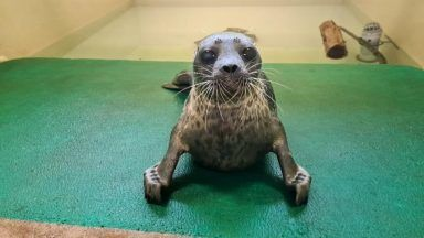 Ringed seal being cared for by the Scottish SPCA.