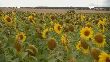 Gloagburn Farm, Perth, sunflower field.